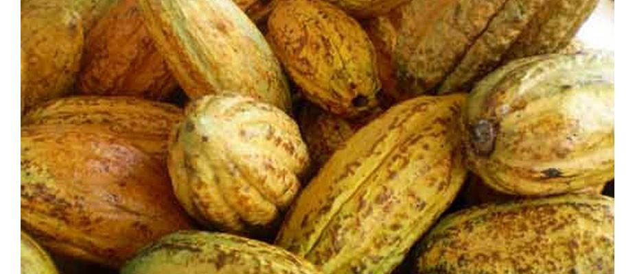 Nous proposons aussi du cacao aux artisans chocolatiers