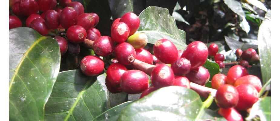 Branche de café en cerise