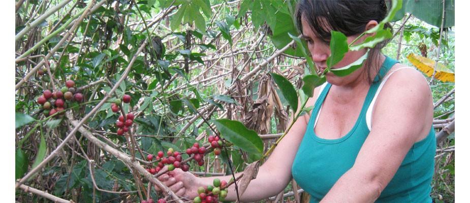 Récolte de café 2013
