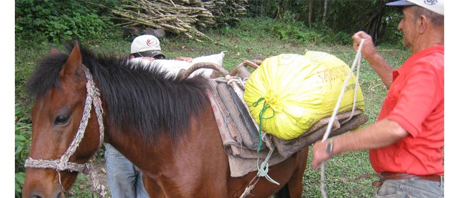 Transport du café à dos de cheval pour préserver l'environnement